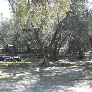 Walk in ancient Andalucian olive groves